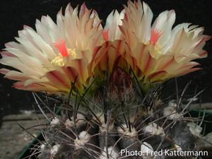 Eriosyce crispa v. carrizalensis FK  58 (S Carrizal Bajo)