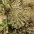 Lobivia calorubra fma. carmineoflora TB0504.1 (Comarapa, Santa Cruz, Bolivia)