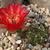 Lobivia calorubra v. mizquensis TB0492.1 (Tintin to San Vincente, Cochabamba, Bolivia)