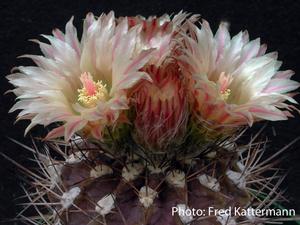 Eriosyce crispa v. huascensis FK 76 (Huasco, 50m)