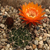 Lobivia chrysochete fma. hystrix TB0191.1 (Cuesta de Sama, Iscayachi, Tarija, Bolivia)