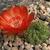 Lobivia cinnabarina  TB0113.1 (Arabate, NE of Sucre, Chuquisaca, Bolivia)