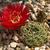 Lobivia cinnabarina  TB0122.1 (Comunidad Khara Huasi, NW of Yamparaez, Chuquisaca, Bolivia)