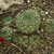 Lobivia cinnabarina v. grandiflora TB0519.1 (Zudanez, Chuquisaca, Bolivia)