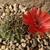 Lobivia cinnabarina varieta TB0527.1 (SE of Icla, Chuquisaca, Bolivia)
