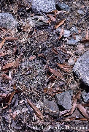 Eriosyce curvispina  FK 424 (Cuelen)