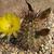 Lobivia haematantha v. elongata TB0375.1 (Seclantas, N of Molinos, Salta, Argentina)