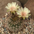 Lobivia lateritia  TB0063.1 (San Pedro, S of Camargo, Chuquisaca, Bolivia)