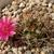 Lobivia lateritia  TB0213.1 (Buena Vista, W of Yunchara, Tarija, Bolivia)