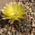 Lobivia lateritia v. cotagaitensis TB0235.1 (Cotagaita, Potosi, Bolivia)