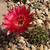 Lobivia pugionacantha  TB0232.1 (Cuartos, N of Villazon, Potosi, Bolivia)