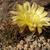 Lobivia tenuispina  TB0047.1 (Mendez, Tarija, Bolivia)