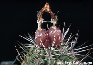 Eriosyce heinrichiana ssp. intermedia FK 180 (25km North of La Serena, South of Cruz Grande (on coast), Elqui, 20m)