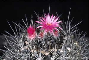 Eriosyce sociabilis FK 803 (Caldera, Morro Copiapo)