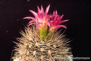 Eriosyce subgibbosa v. nigrihorrida  FK 188 (Emb. La Paloma, 385m)