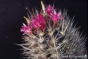 Eriosyce subgibbosa v. wagenknechtii  FK 471 (Los Choros)