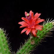 Bolivicereus samaipatanus MN 424 (Angostura, Santa Cruz, Bol)