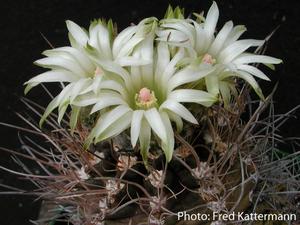 Eriosyce taltalensis v. pygmaea 'calderana' FK 132 (N Chanaral)