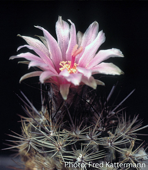 Eriosyce taltalensis v. pygmaea 'calderana' FK 800 (20 km N Chanaral)