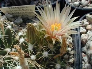 Escobaria missouriensis v. asperispina DJF 624 (San Juan de Solio, Nuevo Leon, Mexico)