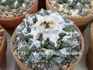 Ariocarpus fissuratus AL 770 (San Vicente, TX)