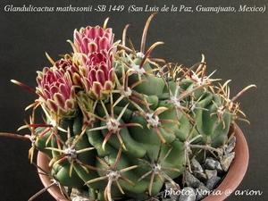 Glandulicactus mathssonii SB 1449 (San Luis de la Paz)