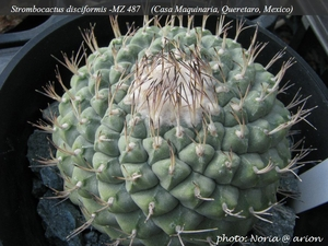 Strombocactus disciformis  MZ 487
