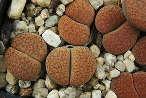 Lithops fulviceps PV 488 (North of Karasburg)
