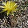 Lobivia tiegeliana v. flaviflora MN 348 (Angostura, Tarija, Bolivia)
