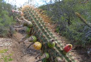 Cleistocactus micropetalus MN 0447 (Candelillar, N Pasorapa, 2053m, Cochabamba, Bolivia)