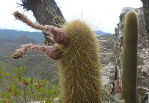 Cleistocactus spec. MN 0449 (E. Pasorapa, 2446m, Cochabamba, Bolivia)