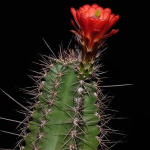 Echinocereus arizonicus ssp. matudae (Pacheco, Chih., Mexico)