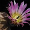 Echinocereus pectinatus (La Cuesta, Coahuila, Mexico)