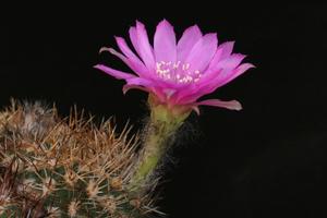 Lobivia calorubra v. cardenasiana WR 498 (E Tarija, Bol)