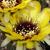 Lobivia jajoiana v. nigrostoma (ex Buining)