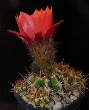 Lobivia grandiflora v. crassicaulis WR 151a (Andalgala-Estancia, Arg)