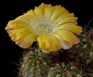 Lobivia haematantha v. hualfinensis 'fechseri' WR 230 (Nacamientos, Arg)