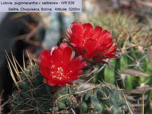 Lobivia pugionacantha v. salitrensis WR 636 (Salitre, Bol)