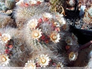 Mammillaria bocasana Lau 1182 (Sra de la Bocas, SLP, Mex)