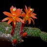 Loxanthocereus sextonianus PH 769.02