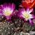 Sulcorebutia albiareolata MN 622 (N Sucre, Pucara, 2925m, Bolivia)