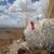 Oreocereus trollii  MN 375 (Yunchara, 3660m, Bol)