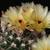 Notocactus submammulosus  MN 74 (Capilla del Monte, Arg)