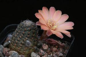 Rebutia pygmaea  MN 150 (Santa Ana-Caspala, Arg)