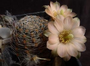 Rebutia pygmaea  MN 168 (Iturbe, Arg)
