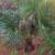 Rhapidophyllum hystrix 'Georgia'