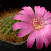 Rebutia violaciflora  WR 681 (Yacones, Arg)