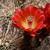 Echinocereus bakeri (Virgin-Zion, Utah)