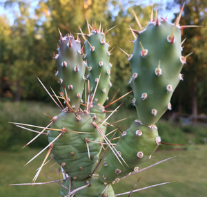 [PLANT/PFLANZE] Opuntia fragilis 'Bob Johnson'