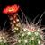 Echinocereus pacificus (Agua Caliente, BC)